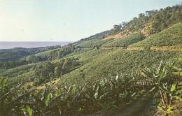 S-BANANA PLANTATIONS-PACIFIC BEAUZONE-AUSTRALIA - Cultures