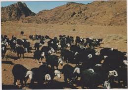 SAUDI ARABIA,ARABIE SAOUDITE,SAUDITA,ARAB EMIRATES,NAJDI SHEEP,NEJDI,MOUTONS,TROUPEAU,UNAIZAH - Arabie Saoudite