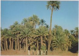SAUDI ARABIA,ARABIE SAOUDITE,SAUDITA,ARAB EMIRATES,ASIR,QAL'AT BISHAH,PALMIER,OASIS,PLANTATION - Arabie Saoudite