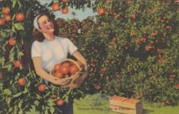 Orange Picking Time In Florida Curteich - Cultivation