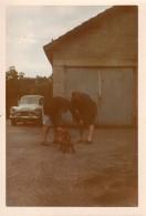 Photo Originale Voiture - Simca Aronde Grand Large Et Teckel Dans La Cour De Ferme