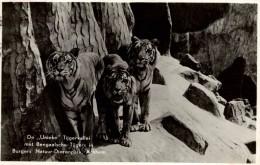 TIGRES / TIJGERS / TIGERS / TIGER - Tigres