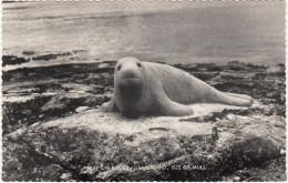 Isle Of Mull : Seal On Rocks - Grasspoint (Inner-Hebrides, Scotland) - ZEEHOND / SEAL / PHOQUE / SEEHUND - - Argyllshire