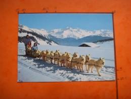 113) Neige Et Soleil :attelage De Chiens Samoyedes Au Col Des Saisies - France