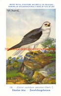 Elanion Blac - Zwartvleugelwouw - Vögel