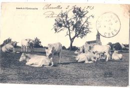 Charolais - Boeufs à L'embouche - TTBE - Breeding