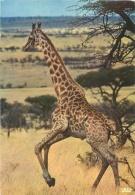 CPM - Girafe - Faune Africaine - Girafes