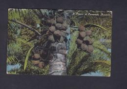USA Hawai A Cluster Of Cocoanuts ( Noix De Coco ) - Etats-Unis