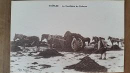 Treflez.la Cueillette Du Goemon. Photo Fichoux - Frankrijk