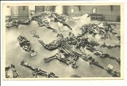 Bruxelles, Musée Royal D´Histoire Naturelle, Vue De L´un Des Squelettes De L´Iguanodon De Bernissart ( 2 CP ) - Bruxelles-ville