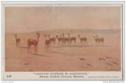 Gazelles Startled By A Sandgrouse - (J C Dollman) - Unclassified
