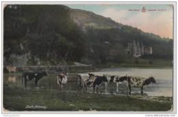 Dairy Cows, Loch Fichray - Scotland - Cows