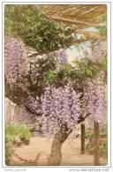 Japan, Wisteria Blossoms In Yokohama (1906) - Yokohama