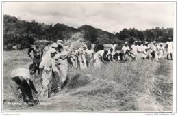 Ceylon (Sri Lanka) - Reaping Paddy - Sri Lanka (Ceylon)
