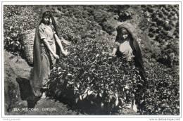 Ceylon (Sri Lanka) - Tea Plucking - Sri Lanka (Ceylon)
