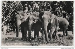 Ceylon (Sri Lanka) - Wild Elephants Just Captured - Sri Lanka (Ceylon)