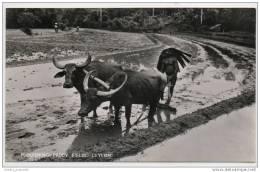 Ceylon (Sri Lanka) - Ploughing Paddy Fields - Sri Lanka (Ceylon)