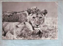 CPSM - Animaux (Lions) - 7681. Junglöwen   // Jeunes Lions - Lions