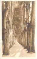 USA - Oakland - Mills College, Eucalyptus Path, R.P. (carte Photo) - Oakland