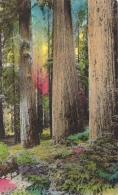 USA - Yosemite National Park - Among The Giant Redwoods (hand Colored) - Yosemite