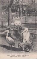 G , Cp , ANIMAUX , PARIS , Jardin Des Plantes , Pélicans Blancs (Europe) - Oiseaux