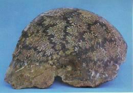 Phylloceras Sp. Fossili (cartolina) Del Monte Baldo - Fossili