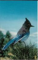 CALIFORNIA---YOSEMITE NATIONAL PARK--Steller Jay  (bluejay)---voir 2 Scans - Yosemite