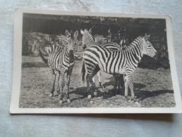 D139922 Hungary  ZOO     Zebra  Zebras - Zebras