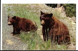 CALIFORNIA--- YOSEMITE  Region--american  Black Bear --voir 2 Scans - Yosemite