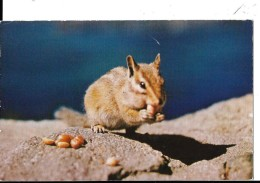 CALIFORNIA---there's Always Room For One More In A Chipmunk's Cheeks---voir 2 Scans - Etats-Unis