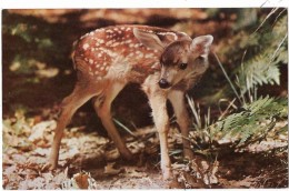 CALIFORNIA---his Little Red Coat That Was Still Somewhat..........bambi---voir 2 Scans - Yosemite