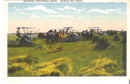Canadian Harvesting Scene: Cutting The Grain. - Agriculture