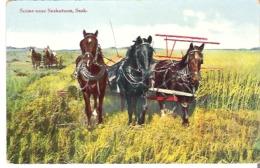 Scene Near Saskatoon, Saskatchewan  Cutting The Grain   Three Horse Hitch - Cultivation