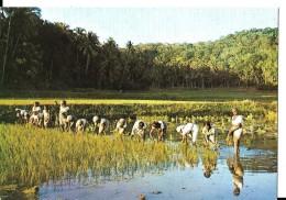 SRI-LANKA--CEYLON---les Rizières En Train De Transplanter---voir 2 Scans - Sri Lanka (Ceylon)