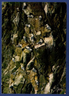 29 BEUZEC-CAP-SIZUN Réserve Michel-Hervé Julien, Colonie De Mouettes Tricactyles Sur Les Parois Du Castel Ar Roc'h - Beuzec-Cap-Sizun