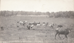 Real Photo - Old Card - Cows In The Field - 2 Scans - Vaches