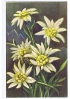 CHIOSTRI  - EDIT BALLERINI & FRATINI 1930s/40s - FLOWER - EDELWEISS - N. 76 - Chiostri, Carlo