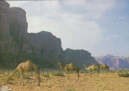 ISRAEL--CAMELS IN THE DEAD SEA AREA DES DROMADAIRES AU DISTRICT DE LA MER MORTE--voir  2 Scans - Israel