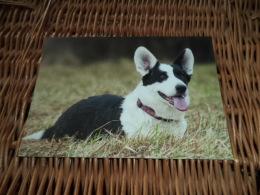 Hund Dog Chien Welsh Corgi Cardigan Postkarte Postcard - Chiens