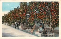 USA - Orange Pickers At Work In Fine Grove - Etats-Unis