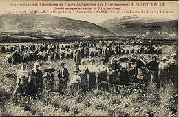 Plantations De Fleurs De Pyrèthre Des établissements A. Caubet & Fils - France