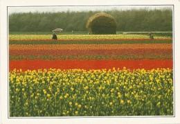 R2894 Olanda - Coltivazione Di Tulipani - Cartolina Con Legenda Descrittiva - Edizioni De Agostini - Europe