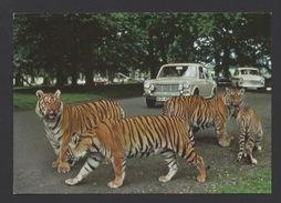 DF / ANIMAUX / SAFARI PARK DE WOBURN EN ANGLETERRE / TIGRES - Tigres