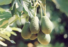 MADEIRA, Frutos E Plantas Subtropicais, Pera-Abacate, 2 Sans, PORTUGAL - Madeira