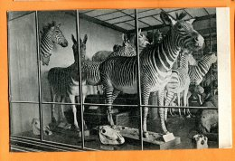 CAL1319, Zebra Gruppe, Zèbre Empaillé, Wien Naturhistorisches Staatsmuseum, No. 1923,  Non Circulée - Zebras