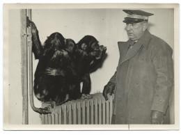 TRÈS RARE  - Gardien Du Zoo De Vincennes Surveillant 3 Singes Sur Un Radiateur - Hiver 41- Photo 13x18 Argentique - Singes