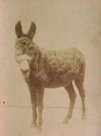AUTHENTIQUE PHOTOGRAPHIE D´un ÂNE à La Robe VELUE , XIX °  , EARLY REAL PHOTO Of A DONKEY Date 1878 - Photos