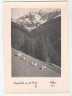 ° Autriche - Austria - Bergschafe Auf Der Weide - Verlag: Dr. A. DEFNER, N° 1704 - 10,5 X 15 Cm - Autriche