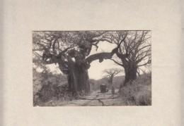 S.Rhodesia: Baobob Tree With Woman & Small Truck Besides, Photo - Zimbabwe