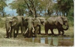 Elefants - Tanzanía